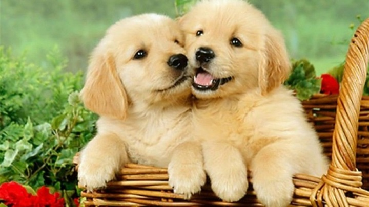 cute_puppies_wallpaper_19_a668.jpg